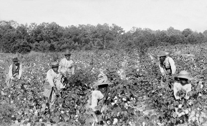 Svart-hvitt fotografi av slaver som plukker bomull i nærheten av Savannah, Georgia.