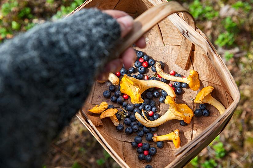 Fotografi av en kurv med blåbær og sopp som er plukket ute i naturen.