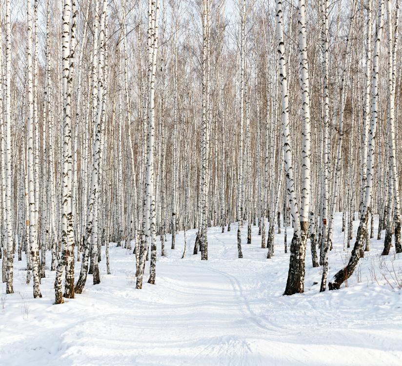 Fotografi av vinterlandskap der et enslig skispor baner seg vei gjennom mange bjerketrær.