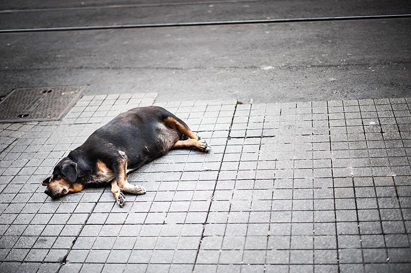 Fotografi av en overvektig hund som sover på et fortau.