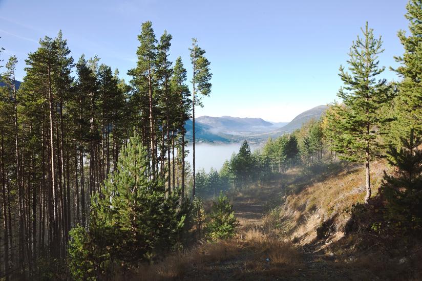 Fotografi av en gammel skogsvei med furutrær på begge sider av veien. I bakgrunn ser vi et tåkelagt dalføre med høye fjell.