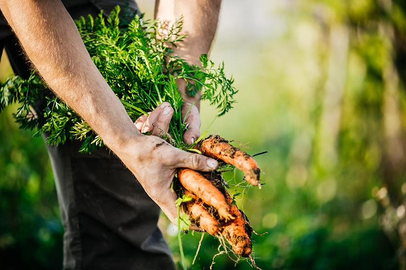 Fotografi av gulrøtter som blir høstet.