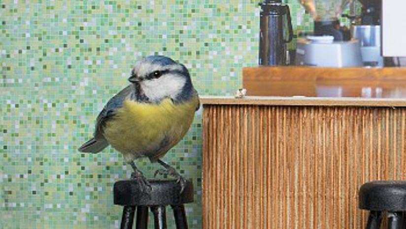 Fotografi av en blåmeis som sitter på en liten barkrakk. Fotografiet er tatt på innsiden av en fuglekasse som er innredet med møbler tilpasset fuglens størrelse.